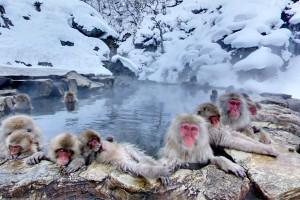 Jigokudani_Monkey1