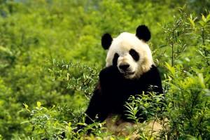 wolong_panda